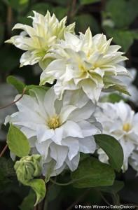 Clematis maria sklodowska curie madam marie photo spring meadow nurseries 2 197x300