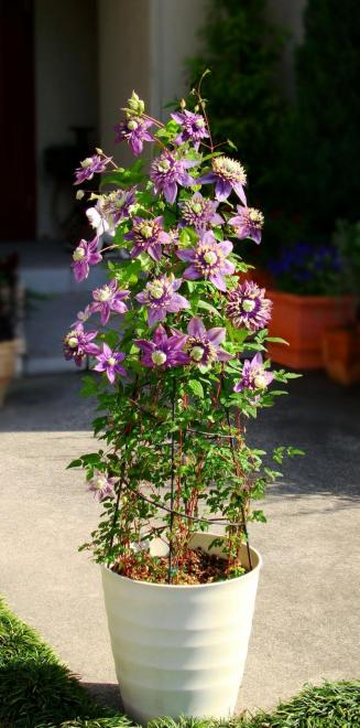 Clematis taiga photo plantipp pot