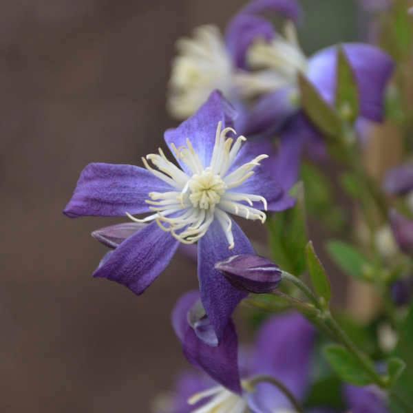Clematis violet stardust 2