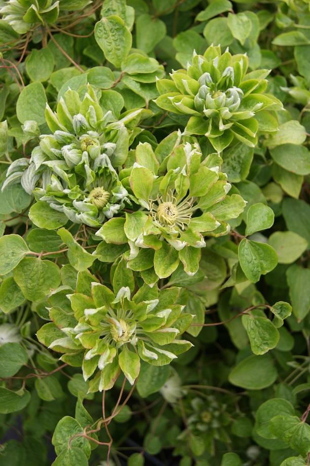 Clematis zo11050 green passion photo j van zoest 2