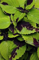 coleus-chocolate-splash.jpg