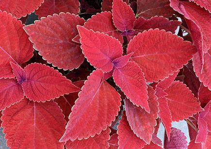 Coleus color clouds valentine 1 435x308