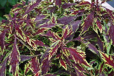 Coleus flame thrower chipolte