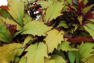 Coleus flame thrower spiced curry