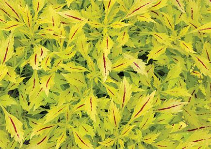 Coleus hipsters jillian 1 435x308