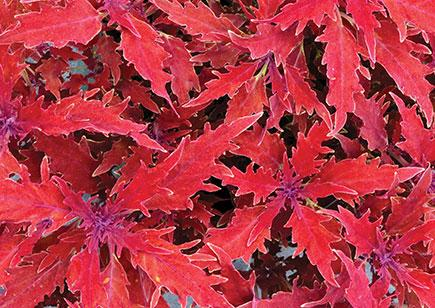 Coleus hipsters luca 1 435x308