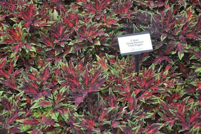 Coleus thrower chili peppers