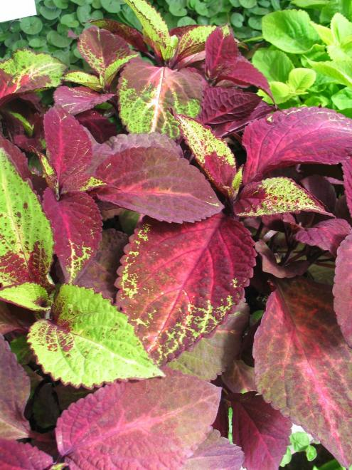 Coleus vers rose to lime from panamerican seed photo newplantsandflowers