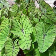 Colocasia blue hawaii