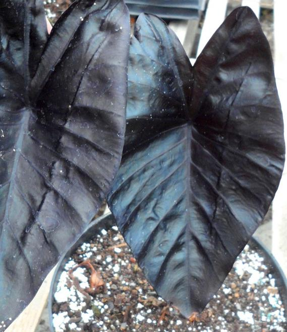 Colocasia electric blue gecko photo ag3