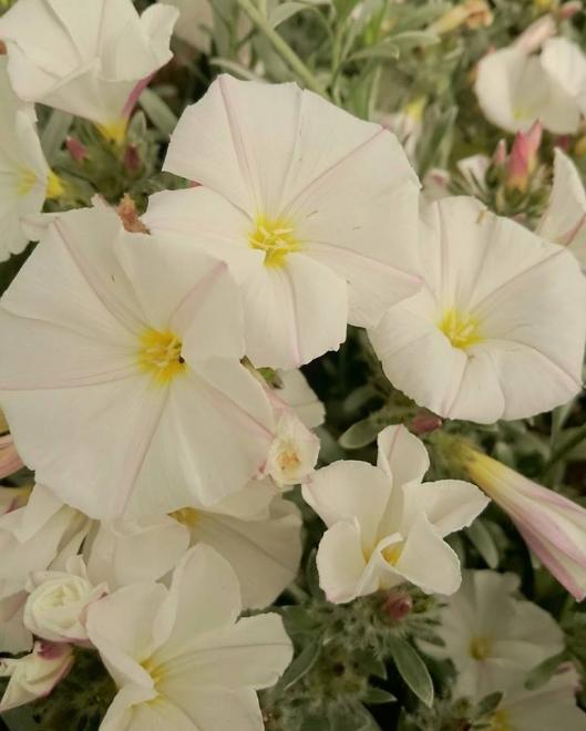Convolvulus cneorum white sensation