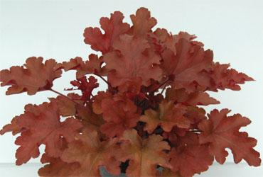 Copie de heuchera red fury