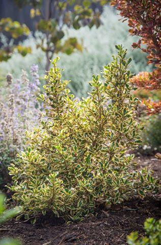 Coprosma repens golden star 1