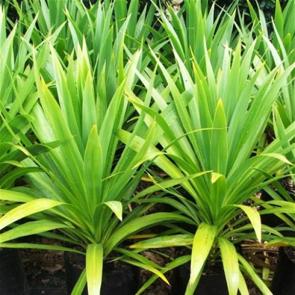 Cordyline kasper green