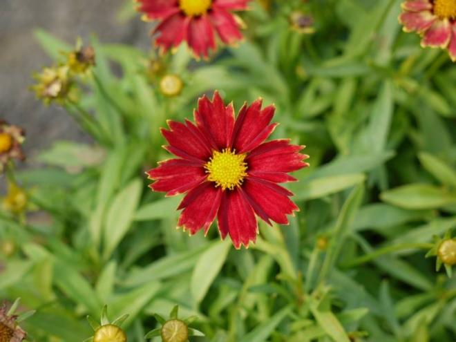 Coreopsis li l bang enchanted red