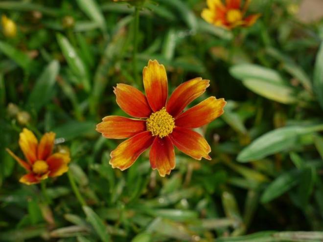 Coreopsis li l bang orange