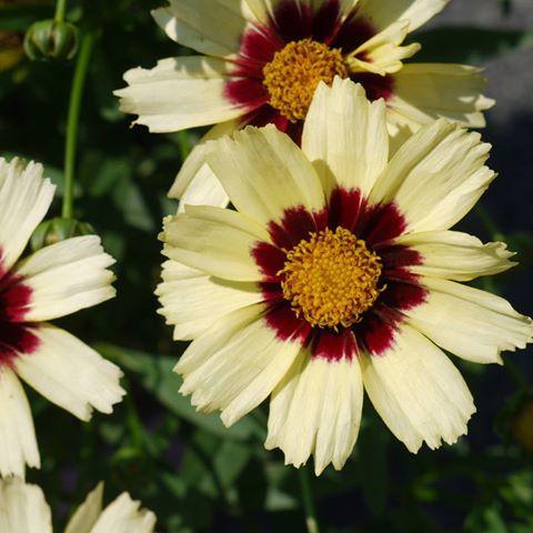 Coreopsis lil bang