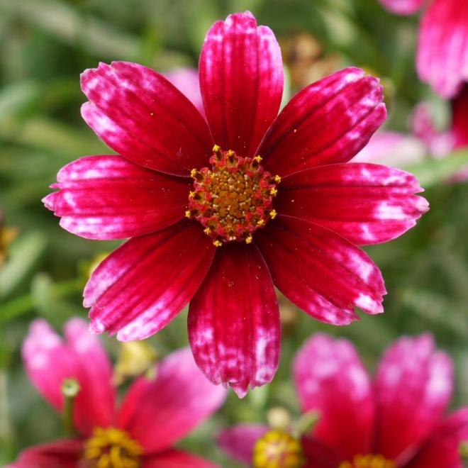 Coreopsis perma thread cherry blast