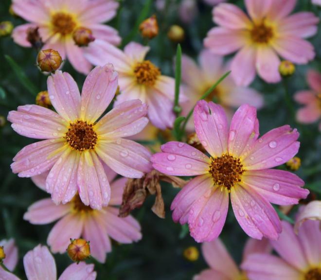 Coreopsis permathread blushing pink