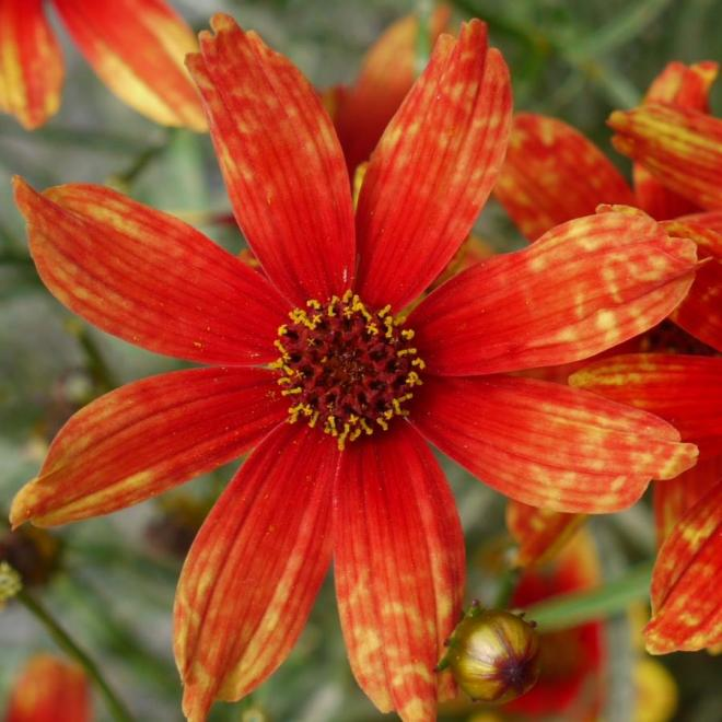 Coreopsis permathread glowing ambers