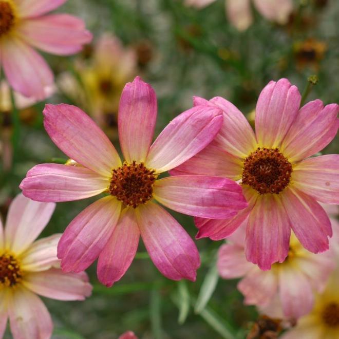 Coreopsis permatread shades of rose