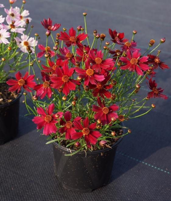 Coreopsis rosea uribl01 u2019 bloomsation dragon photo plantipp iii