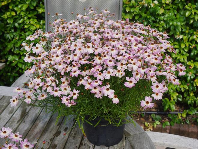 Coreopsis rosea uribl02 u2019 bloomsation chameleon photo plantipp