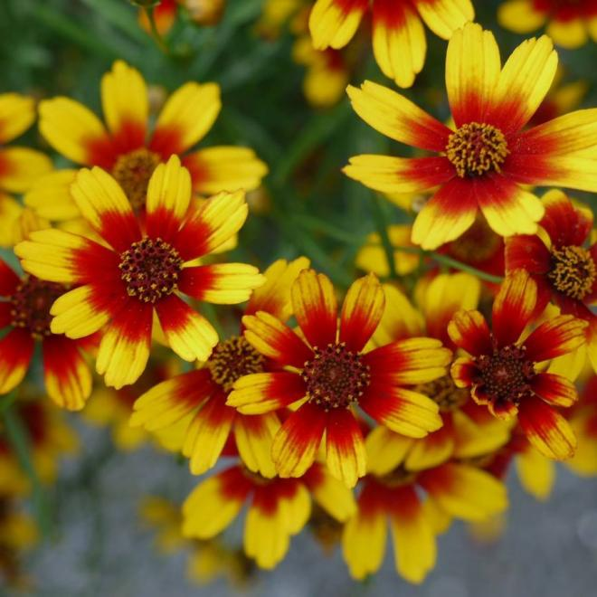 Coreopsis satin lace tapisserie jpg