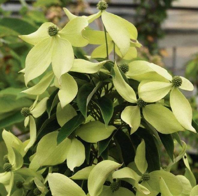Cornus elliptica luck leprechaun