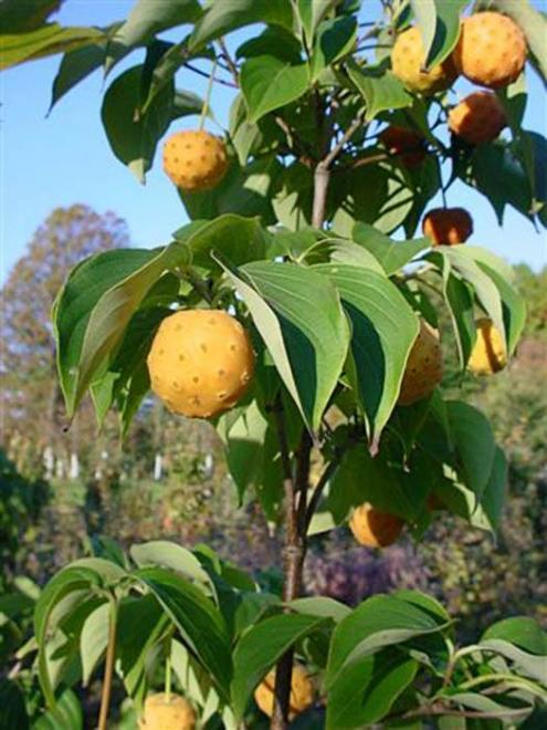 Cornus kousa mandarin jewel 2
