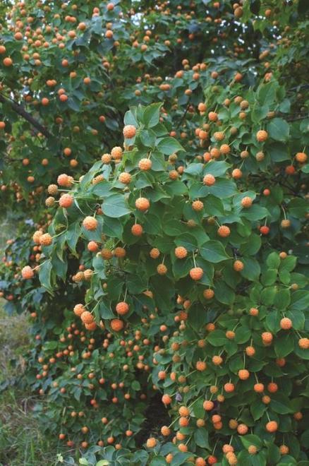 Cornus kousa mandarin jewel