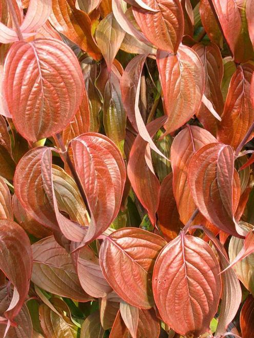 Cornus mas saffron sentinei 3 jpg
