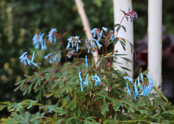 Corydalis hillier porcelain blue 1