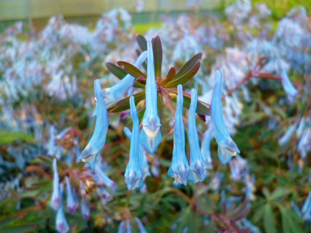 Corydalis hillier porcelain blue 3