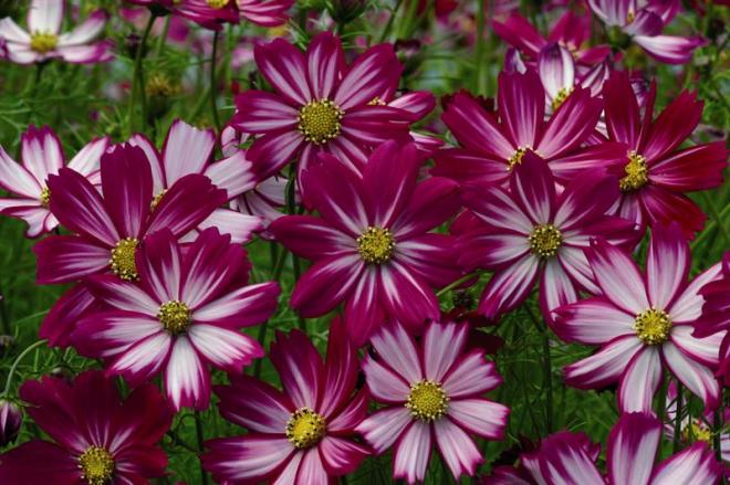 Cosm bipi cosimo purple red white 01 vanhem