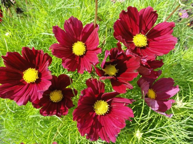 Cosmos bipinnatus casanova red photo fleuroselect