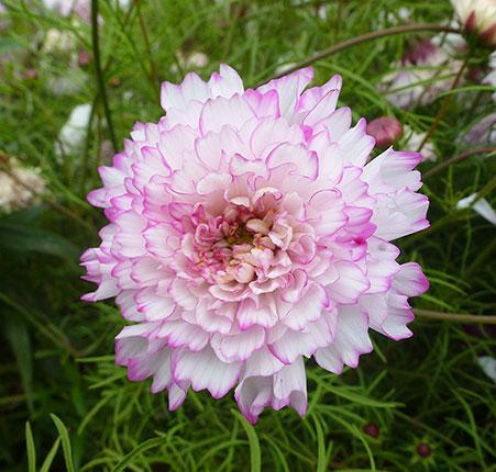 Cosmos double bicolor pink
