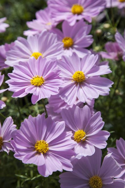 Cosmos f1 apollo pink photo floranova