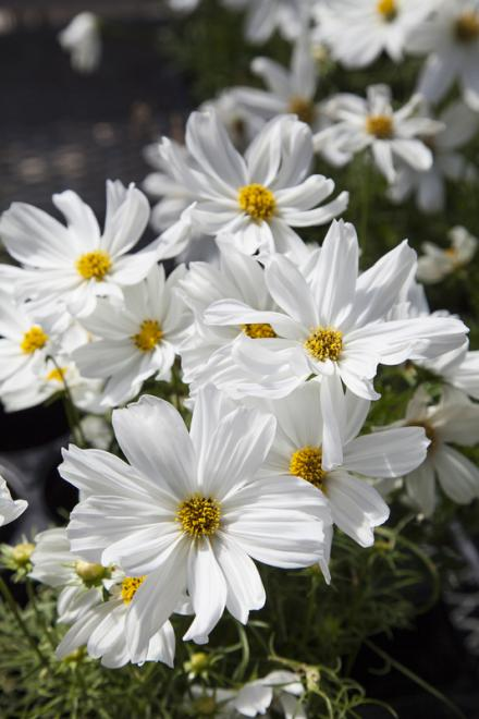 Cosmos f1 apollo white photo floranova 2