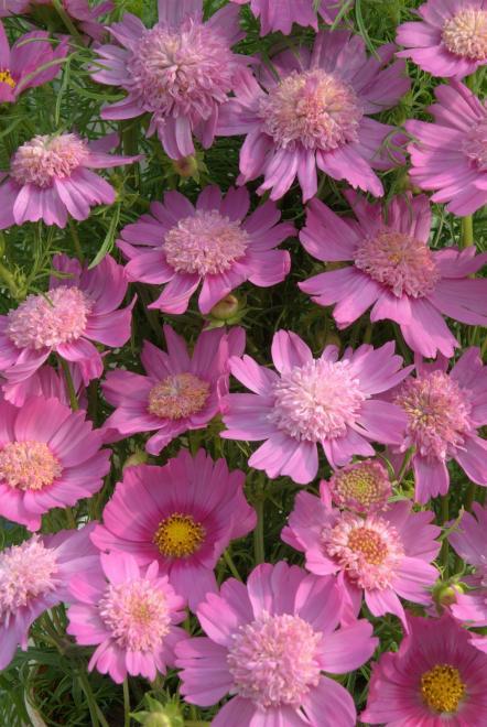 Cosmos pink popsocks kl