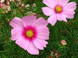 Cosmos pink premium