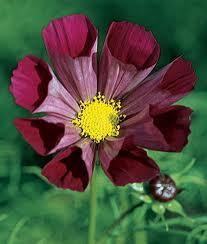 Cosmos piper red