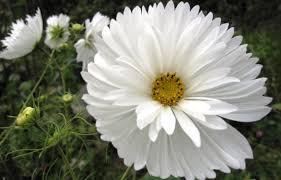 Cosmos psyche blanc