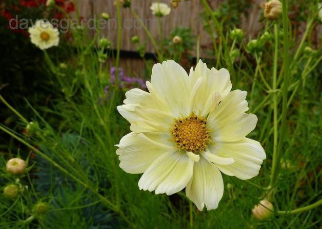 Cosmos yellow garden