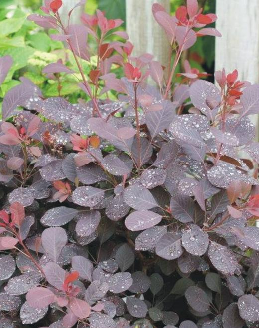 Cotinus coggygria winecraft black