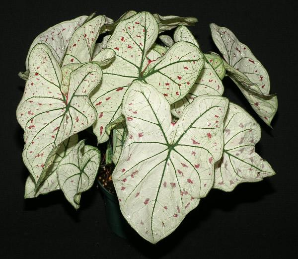 Cranberry caladium star