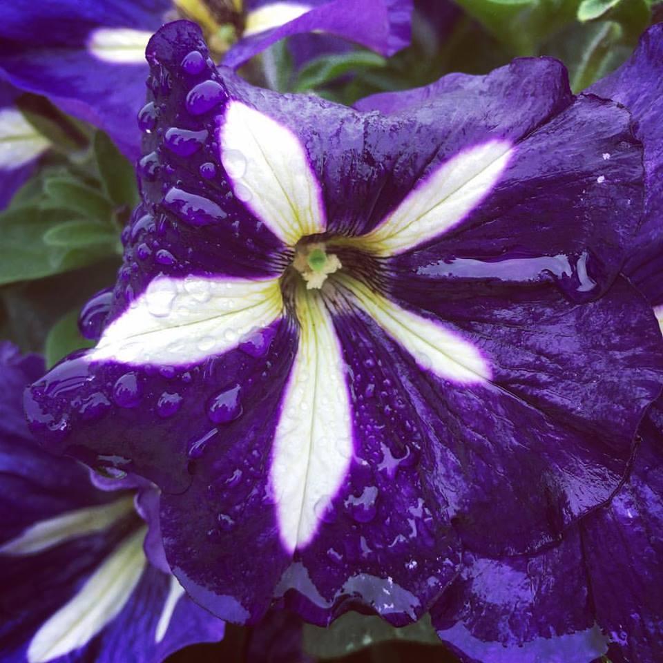 Crazytunia lucky lilac