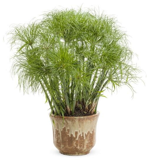 Cyperus papyrus prince tut photo proven winners