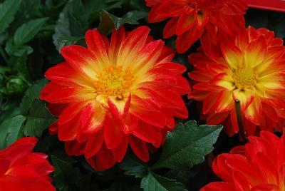 Dahlia dalaya red yellow eye
