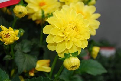 Dahlia dalaya yellow